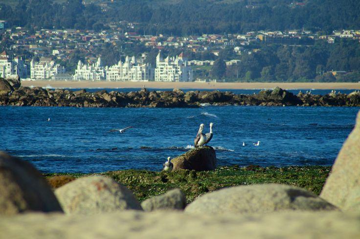#Pelicanos, Algarrobo, Chile