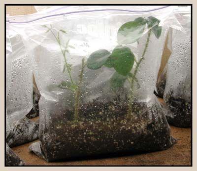 Reproducción por esquejes de rosas en bolsas de plástico