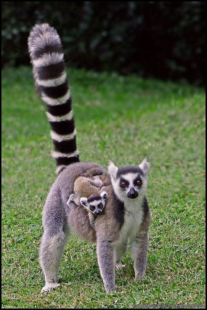 Ringed Tail Lemur Lemur Catta Catta Animals Beautiful Animals Wild Cute Animals