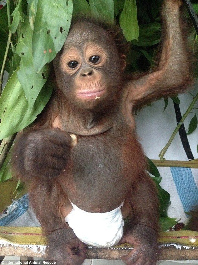 One of many: International Animal Rescue are keen to stress that Budi's story is not an isolate case and there are 'countless' orangutans currently suffering from neglect in Indonesia