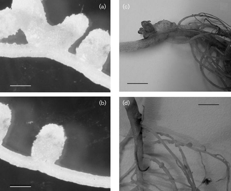 (a, c) Phyllobacterium trifolii  (b) Rhizobium leguminosarum