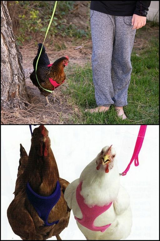 Take your pet chooks for a walk with this chicken harness!