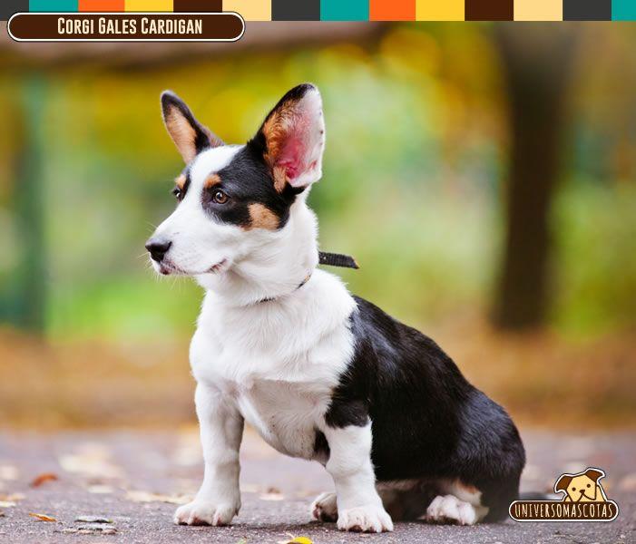 Origen: Reino Unido Tamaño: Pequeño. Conoce más de este leal y curioso amigo en: http://www.universomascotas.co/razas/perros/corgi-gales-cardigan/142