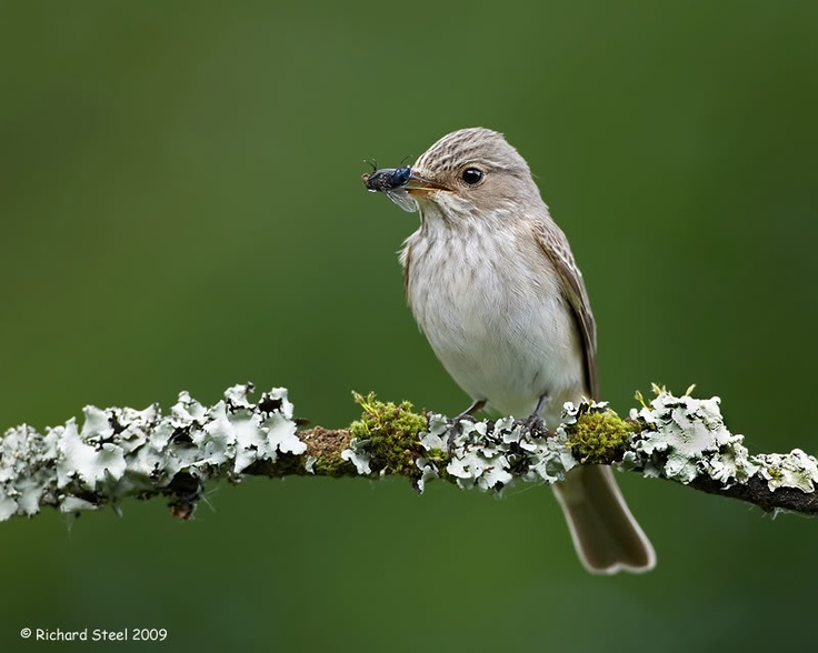 Spotted Flycatcher in the UK