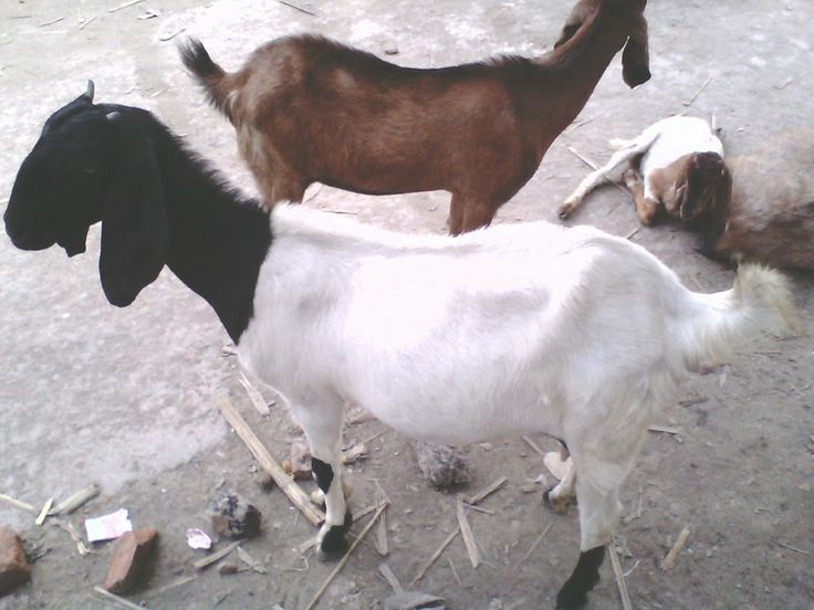 Taking proper care is very important for raising goats so before starting goat farming business try to learn more about how to care for goats