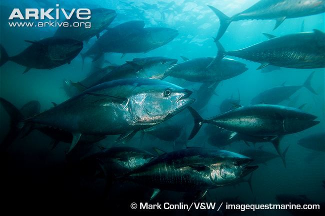 Endangered Species of the Week: Atlantic bluefin tuna
