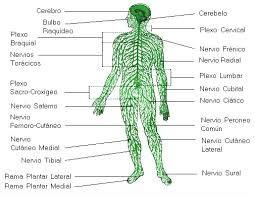 Resultado de imagen para sistema nervioso