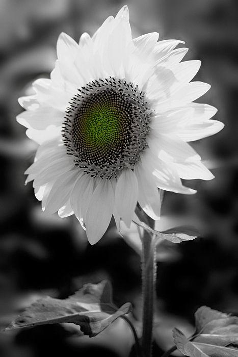 by Kent ShiraishiBeautiful Flower, White Flower, Amazing Photography, Splashes Colors, Photography Editing, Black White, Exquisite Photography, Kent Shiraishi, Photography Les