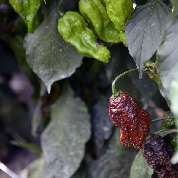 ... Bhut Jolokia. Sweeter than Red Daddy. Free seeds with every order