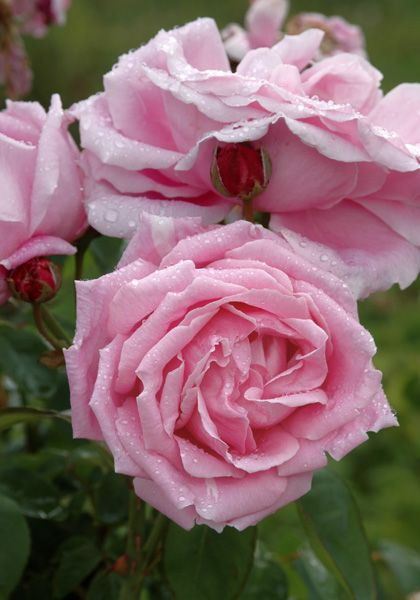 Hybrid Tea Rose: Rosa 'Madame Caroline Testout' (France, 1890)