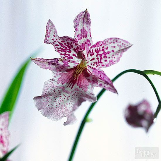 If your beautiful orchid is outgrowing its space, find out how to carefully repot it without damaging the plant.