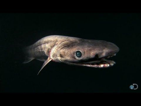 The Frilled Shark | Shark Week 2013 - found in the fossil evidence 80,000 years ago and identical to the ones alive today. Most that have been caught are 6 ft, but there is an instance of one that was 23 ft. We do not know too much about them, fortunately they prefer depths of 2K to 4K feet...usually only found because they are sick and come up closer to the surface. I just learned about them because one was just caught in a net in Australia and made the news...