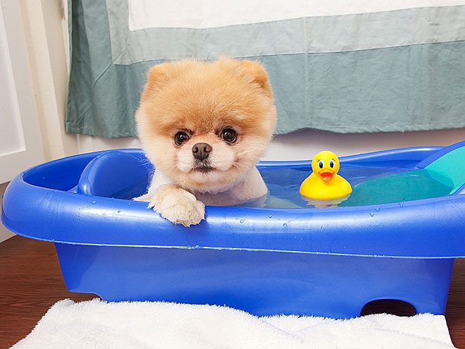 Perfect Boo Dog Pomeranian Boo Grooming Dogs Dog Wallpaper Cutest Dogs Boo