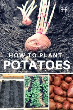 Want To Know The Best Way To Plant Potatoes This Method 400 x 300