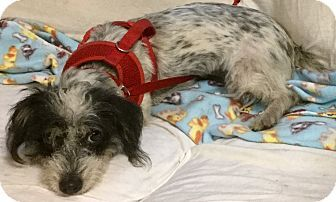 Phoenix, AZ - Dachshund/Terrier (Unknown Type, Small) Mix. Meet Happy, a dog for adoption. http://www.adoptapet.com/pet/17265314-phoenix-arizona-dachshund-mix