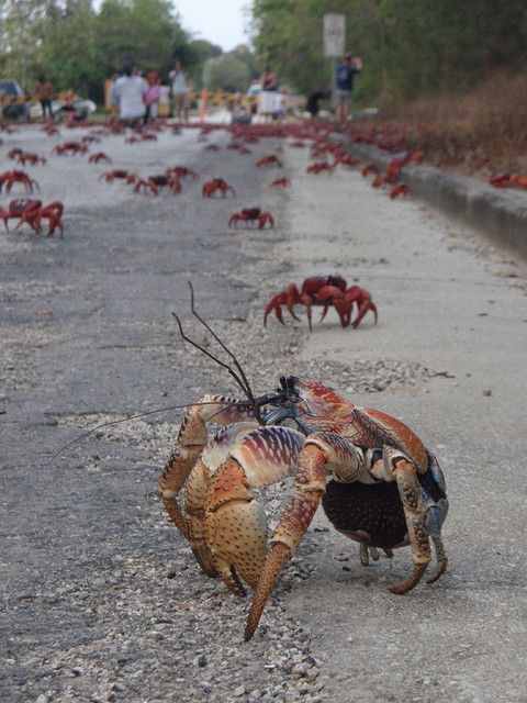 Red Crab Migration, Christmas Island | Australia  At the beginning of the wet season, most adult red crabs suddenly begin a spectacular migration from the forest to the coast to breed. During peak migration times, sections of roads where crabs cross in high numbers may be closed to vehicles for short periods of time. (Photos by Alain Thain, Charlie Summers, and Max Orxard)