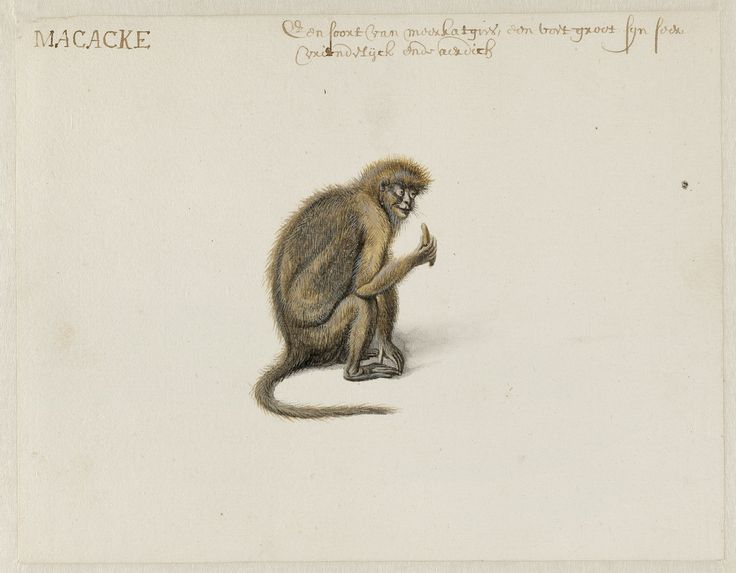 Macaque, Frans Post (1612–1680), watercolor and gouache, with pen and black ink, over graphite, c. 1638–1644. Noord-Hollands Archief, Haarlem