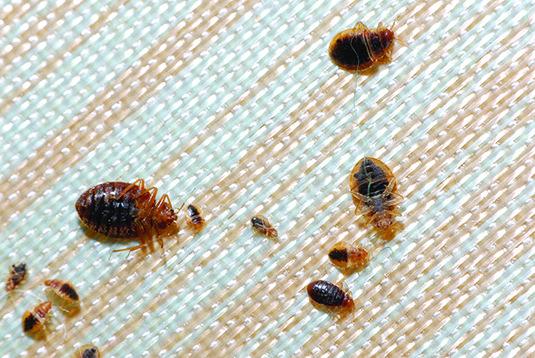 Traitement contre les punaise de lit Punaises de lit