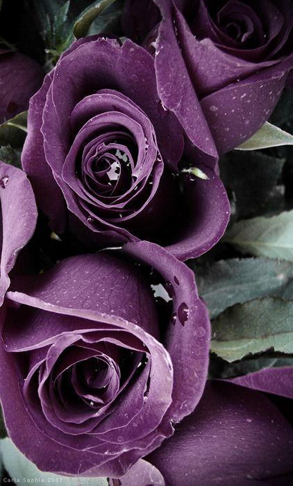 raindrops on roses (Carla Sophia)   FLOWER   Pinterest   Purple roses, Flowers and Rose