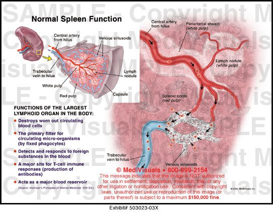 Spleen Anatomy Gross