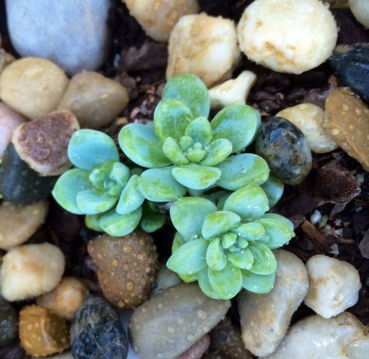 135 best ones stuff images on pinterest succulents succulent sedum spathifolium is a delicate succulent featuring small rosettes of tiny green grey leaves ideal for mass plantings or use as a ground cover or in mightylinksfo