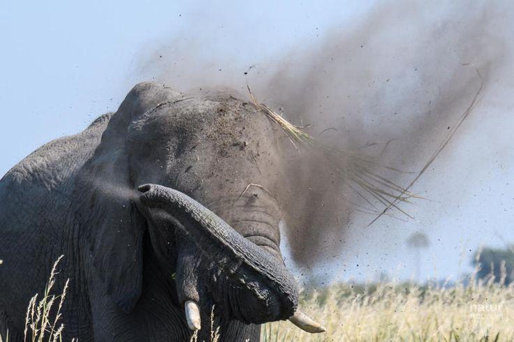 Diesen Elefant durften wir einige Zeit im Okavangodelta beobachten. Wenn er einmal in Fahrt ist, ist kein Grashalm mehr sicher :-)