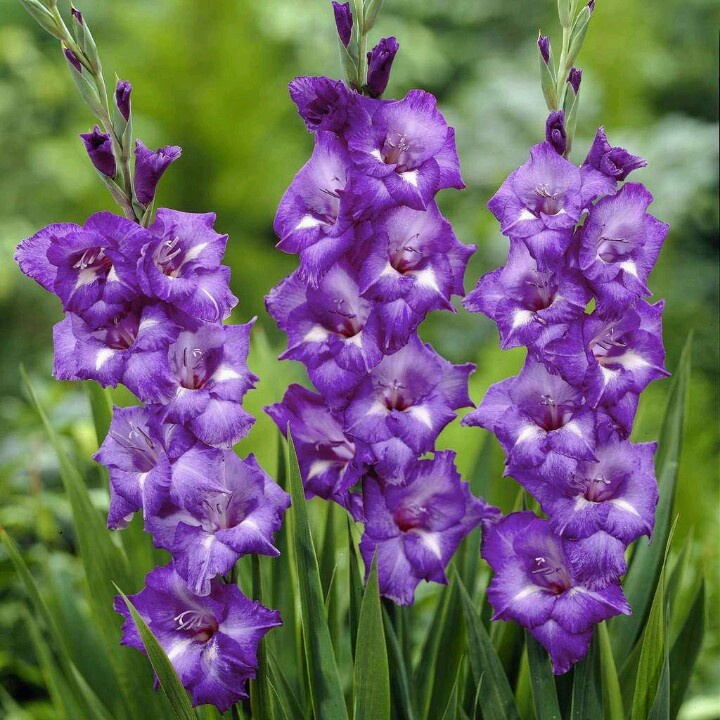Purple Gladiolus Cascading From Bouquet One Day Flowers Pinterest