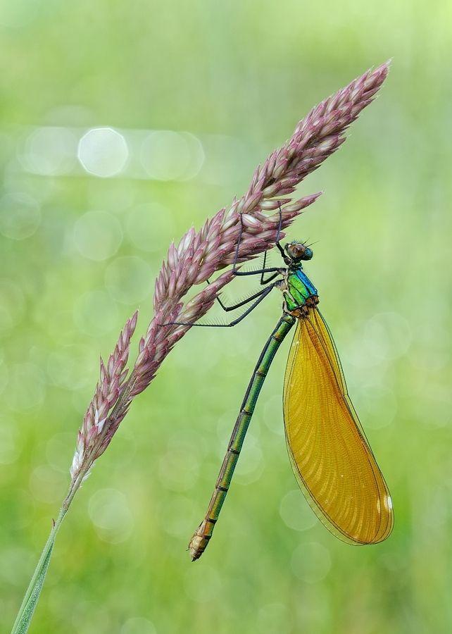 ** Dragonfly