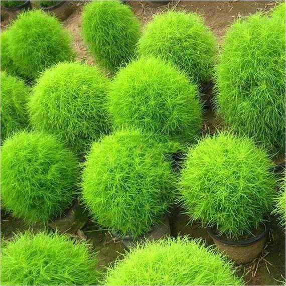 100 green kochia scoparia grass seeds ornamental plants for Green ornamental grass