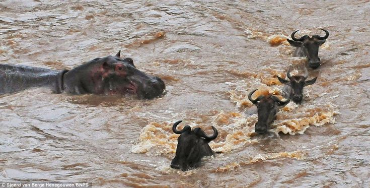 The famous migration caught on camera by amateur photographer Sjoerd van Berge Henegouwen who was visiting the Maasai Mara in Kenya.    Read more: http://www.dailymail.co.uk/news/article-2232751/Wildebeest-make-Youll-ask-hippo-Migrating-cattle-encounter-tonne-threat-Africas-Mara-river.html#ixzz2COMqndLm  Follow us: @MailOnline on Twitter | DailyMail on Facebook