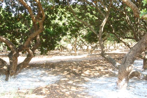 VISIT GREECE| Mastic is a natural, aromatic resin in teardrop shape produced from the mastic tree (pistacia lentiscus var. chia) only growing in the southern part of #Chios Island. The uniqueness of the #product is attributed not only to a deep-rooted tradition in cultivation, but also to certain #soil and #weather conditions that favour #mastic tree's flourishing.