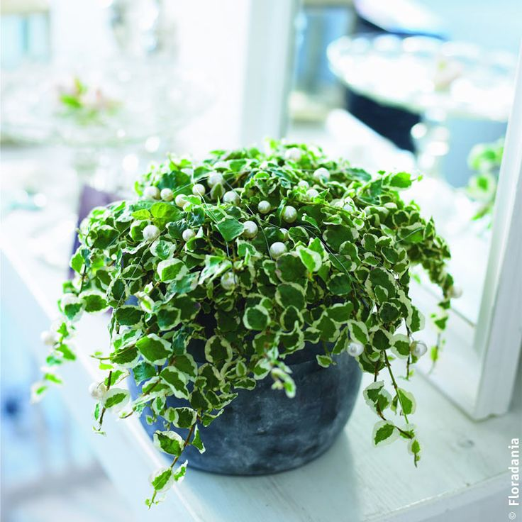 ficus pumila variegata with pearls