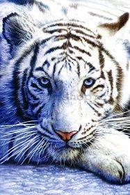 Plakát - Bílý tygr