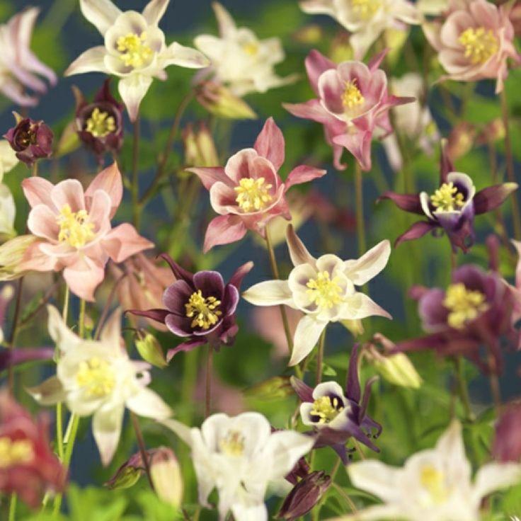 Lettstelt, hardfør og svært blomsterrik akeleie som blomstrer på våren med et spill av farger i rosa, blått, hvitt og gult. Hardfør og nøysom, tåler sol og skygge. Tiltrekker sommerfugler. ...