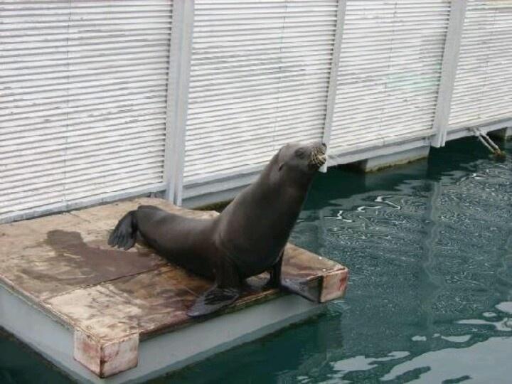 Harley the sea lion Caleta De fuste