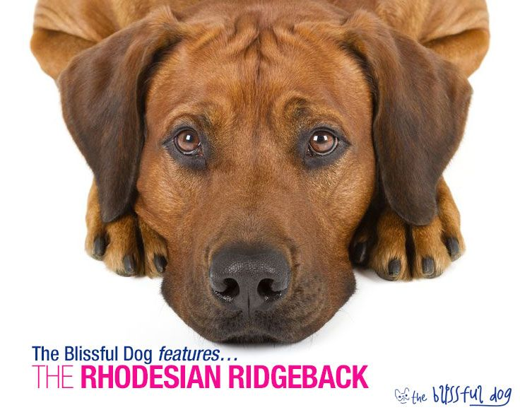 The Rhodesian Ridgeback was originally bred to chase and