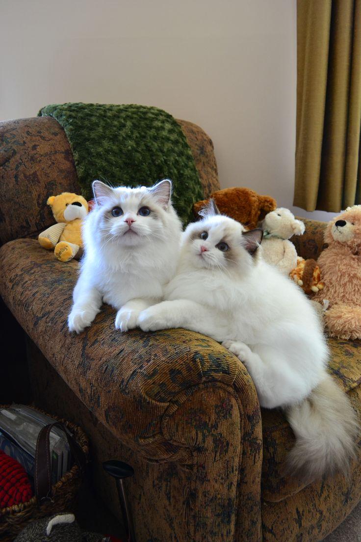 AWW!!  So cute  - Ragdoll kittens www.ragtownragdolls.com
