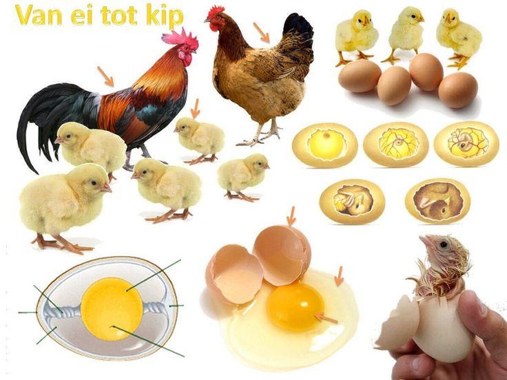 Interactieve vertelplaat over kip en ei. Door Ingrid Heersink