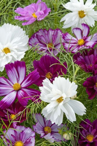 Lekfull mix av rosenskäror i allt från vitt till olika nyanser av rosa/lila.Strimmiga blommor förekommer. Passar bra i buketter. Trivs i soligt läge. Halvhärdi