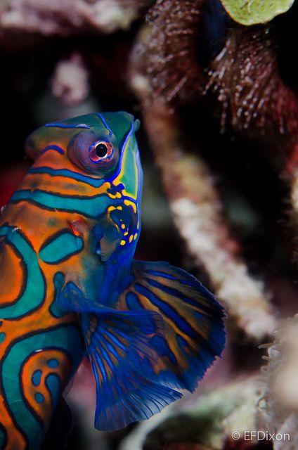 http://www.pinterest.com/vickycagr1/sea-life-mind-and-soul-candy/ Mandarin