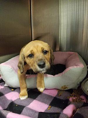 Henderson Nc Mixed Breed Medium Meet Ryan A Pet For Adoption Pet Adoption Mixed Breed Dog Pounds
