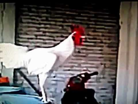 FUNNY Crazy rooster laughs (many drugs)