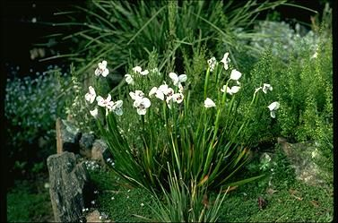 Diplarrena latifolia