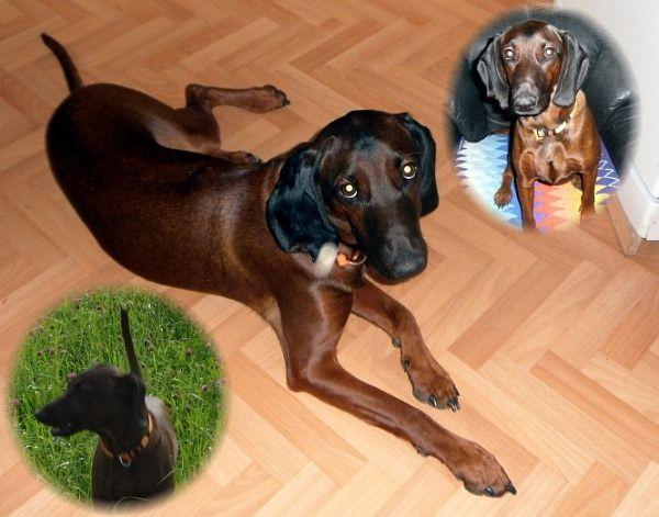 Happy End Adjak, Bayerischer Gebirgsschweißhund (Rüde) - Zuhause ...