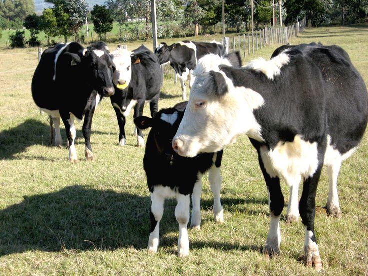 Vacas Lecheras Holandesas De Casa Grande