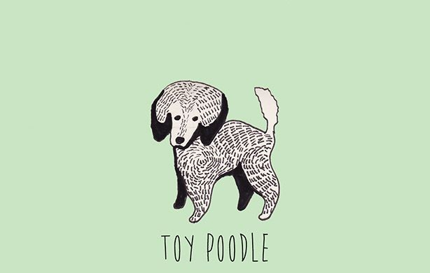 T is for Toy Poodle.