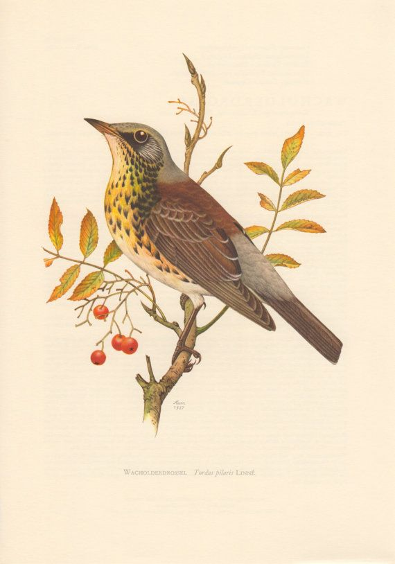 1957 Fieldfare Antique Print Vintage Lithograph by Craftissimo