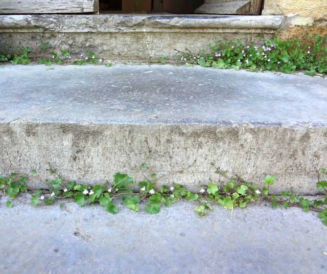 Cymbalaria muralis growing everywhere.
