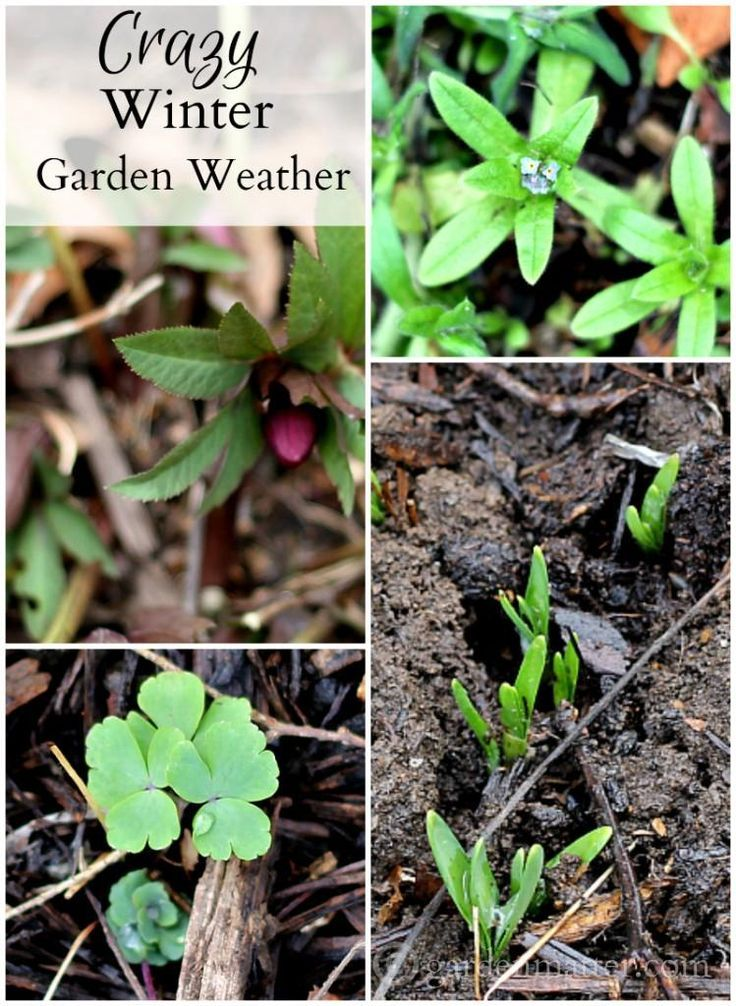 Crazy winter garden weather. What does it mean for gardeners. See what some experts are saying about the blooming and emergence of plant grow at an unusual time.~gardenmatter.com