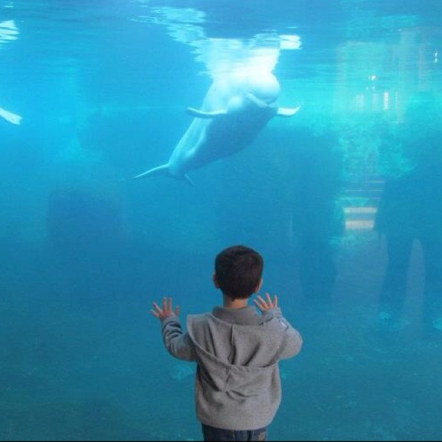 17 Best Images About Beluga Whales On Pinterest Beluga